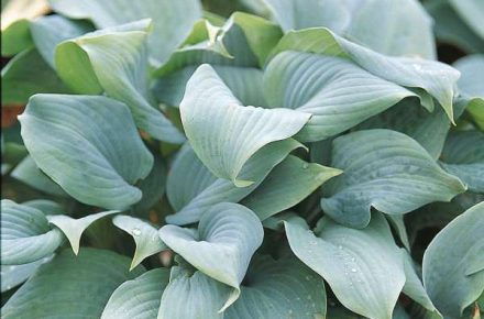 Fragrant Blue Hostas