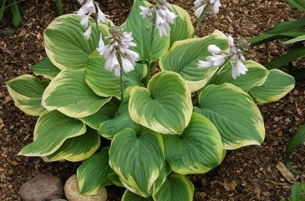 Fragrant Bouquet Hostas