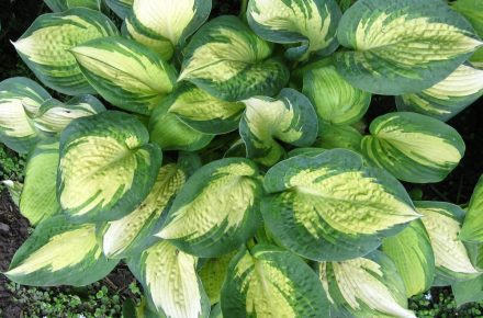Great Expectations Hostas