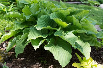 Komodo Dragon Hostas