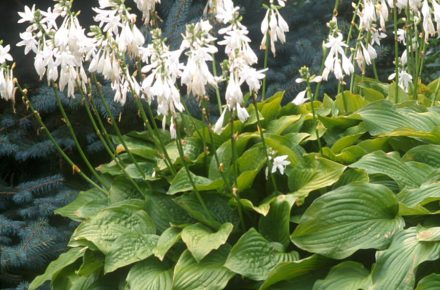 Royal Standard Hostas