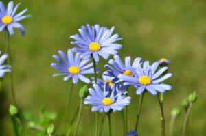 Blue Felicia Daisy