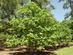 Ashes Magnolia
