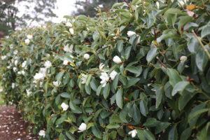 Fairy Magnolia White